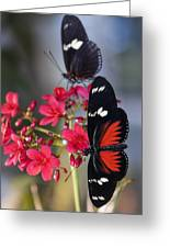 Red And White Longwing Butterflies  Greeting Card