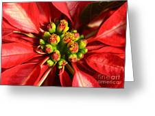 Red And White Poinsettia Flower Greeting Card by Catherine Sherman