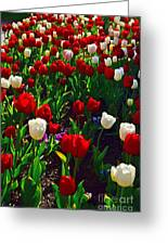 Red And White Tulip Art Greeting Card