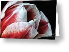 Red And White Tulip Closeup Greeting Card
