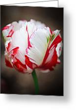 Red And White Tulip Greeting Card
