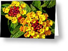 Red And Yellow Lantana Flowers With Green Leaves Greeting Card