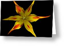 Red And Yellow Spiked Tulip Greeting Card