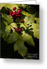 Red Baneberry   #8955 Greeting Card