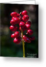Red Baneberry   #8986 Greeting Card