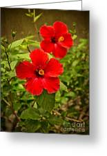 Red - Beautiful Hibiscus Flowers In Bloom On The Island Of Maui. Greeting Card