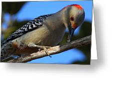 Red-bellied Woodpecker Catching Grub Greeting Card