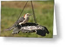 Red Bellied Woodpecker - Melanerpes Carolinus Greeting Card