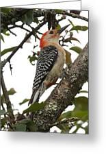 'red-bellied Woodpecker' Melanerpes Carolinus  Greeting Card