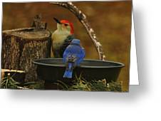 Red- Bellied Woodpecker Greeting Card