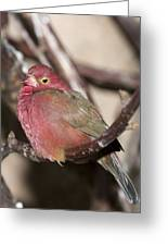 Red Billed Firefinch Greeting Card