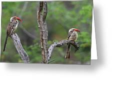 Red-billed Hornbills Greeting Card