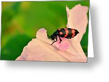 Red Blister Beetle Greeting Card