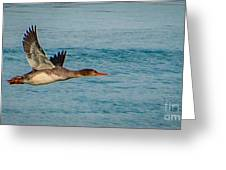 Red Breasted Merganser In Flight Greeting Card