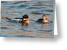 Red Breasted Merganser Pair Greeting Card
