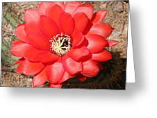 Red Cactus Flower Square Greeting Card