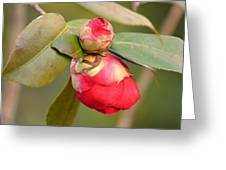 Red Camelia Buds Greeting Card