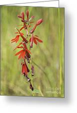 Red Cardinal Flower Greeting Card