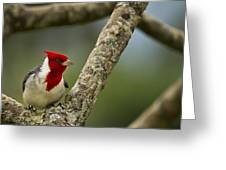 Red Crested Cardinal Greeting Card by Belinda Greb