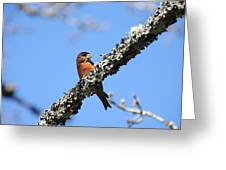Red Crossbill Finch Greeting Card