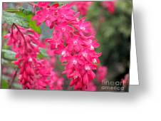 Red-flowering Currant Blossom Greeting Card