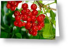 Red Currants Ribes Rubrum Greeting Card