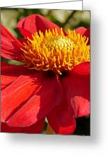 Red Dahlia Coccinea Greeting Card