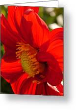 Red Dahlia Elegance Greeting Card