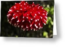 Red Dahlia Greeting Card