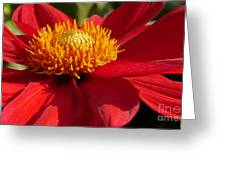 Red Dahlia Starlet Greeting Card
