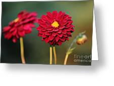 Red Dahlias Greeting Card