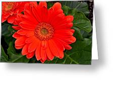 Red Daisy Greeting Card by Michael Sokalski