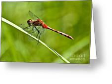Red Darter Greeting Card