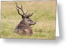 Red Deer  Cervus Elaphus Greeting Card