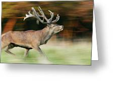 Red Deer Cervus Elaphus Stag Running Greeting Card