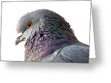 Red-eyed Pigeon Greeting Card