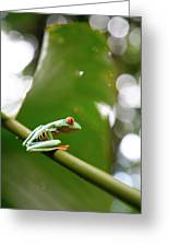 Red Eyed Tree Frog, Agalychnis Greeting Card