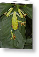 Red-eyed Tree Frog Costa Rica Greeting Card