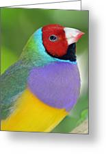 Red Faced Gouldian Finch Greeting Card