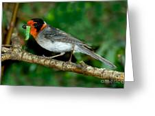 Red-faced Warbler With Caterpillar Greeting Card
