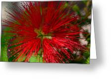 Red Fairy Duster Calliandra Californica Greeting Card