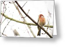 Red Finch In Snow Greeting Card