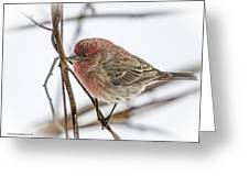 Red Finch Greeting Card