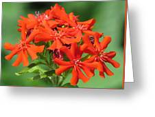 Lychnis Molten Lava Greeting Card