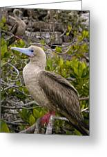 Red-footed Booby Galapagos Islands Greeting Card