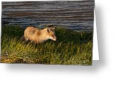 Red Fox Hunting The Edges At Sunset Greeting Card