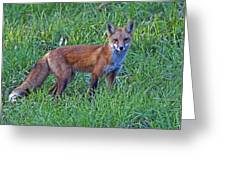 Red Fox In A Field Greeting Card