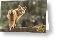 Red Fox In The Sunset Greeting Card