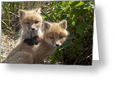 Red Fox Kits Playing Alaska Greeting Card
