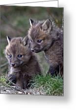 Red Fox Kits Greeting Card